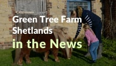 Green Tree Farm Shetlands In The News