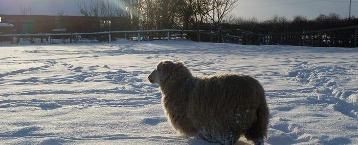 Lone Ewe in Snow