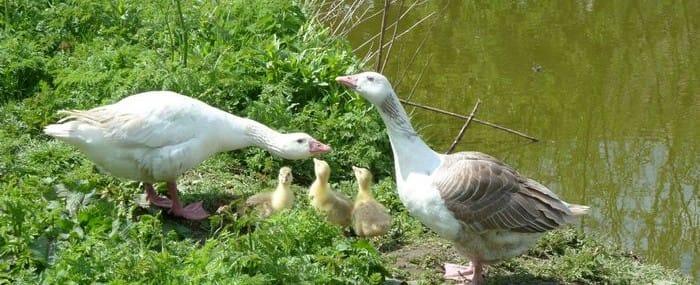 Shetland Geese & Chicks