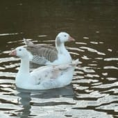 Shetland Geese