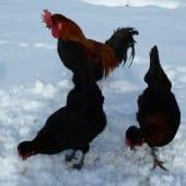 Shetland Hens & Cockeral