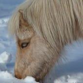 Shetland Pony Grazing in Snow