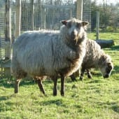 Shetland Sheep Grazing