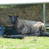Shetland Sheep Resting