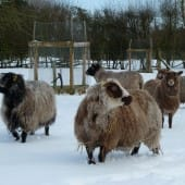 Shetland Sheep in Snow