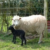Shetland Sheep with Lamb