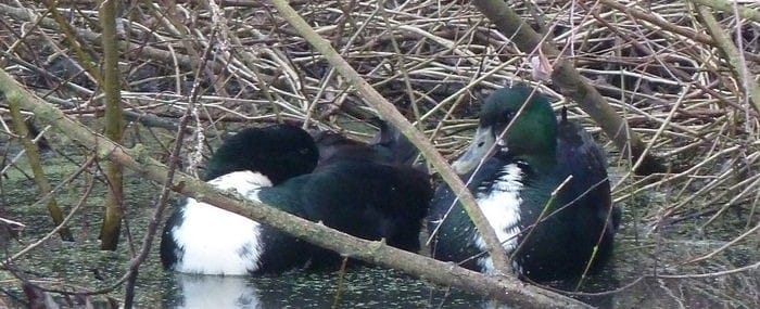 Shetland ducks