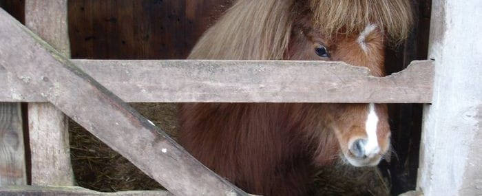 Shetland pony through gate
