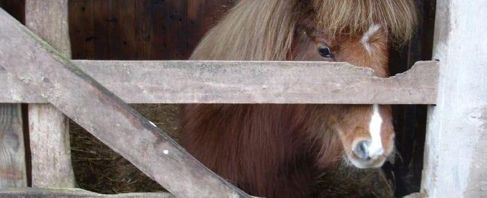 Shetland pony through gate